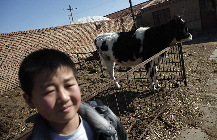 A dairy cow at a farm on the outskirts of Hohhot, in February 2012. A farmer is jailed after publishing an article alleging corruption at a large dairy company. (Reuters/Carlos Barria)