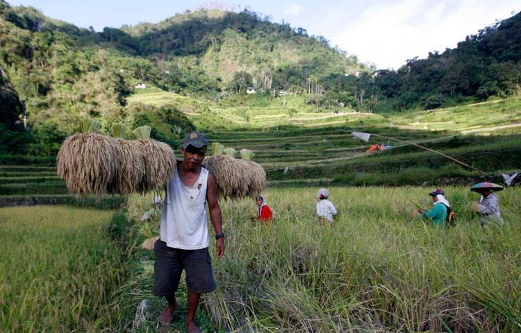 A farmer carries harvested rice stalks in Ifugao province, Philippines on June 30, 2011. A reporter in Ifugao who covered local land and rights issues was shot August 6, 2019. (Reuters/Cheryl Ravelo)